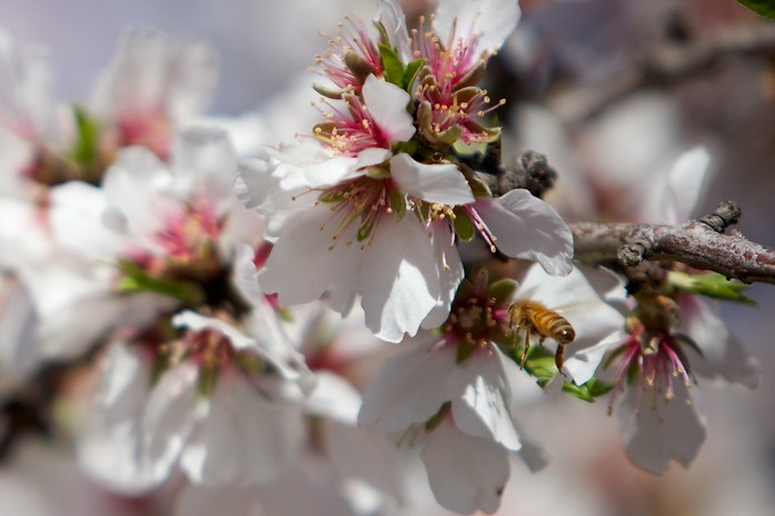 Bee gathering pollen from a cherry blossom