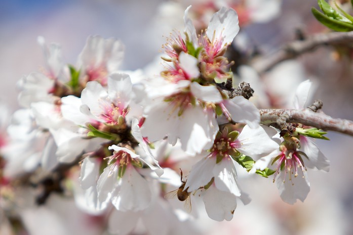 Bee wings poking out from a cherry blossom
